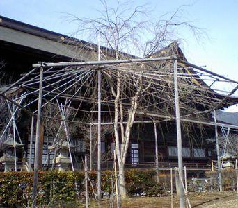 Shidare_sakura