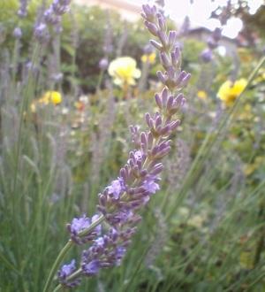 Grosso__lavender