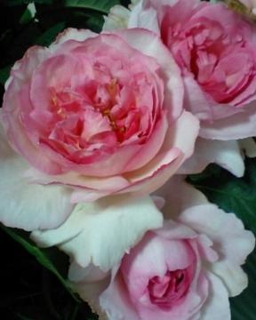 Pink_yves