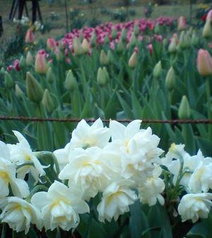 Narcissustulip