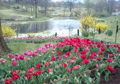 Tulip_pond