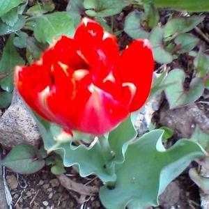 Tulip_vermilion