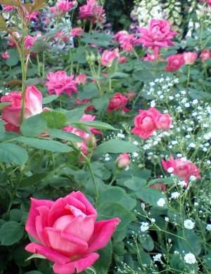 Like_starry_roses