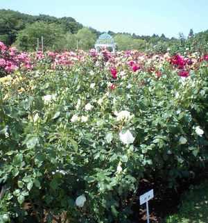 Kansyarose_garden