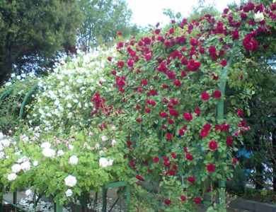 Rose_tunnelag