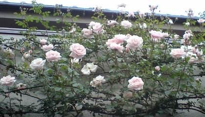 Ojimukus_garden