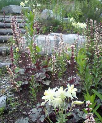 Aflabellata_with_heuchera