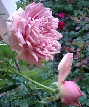 Rose_pompadour