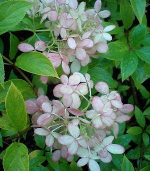 Hydrangea__paniculata_