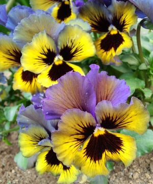 Bright_pansy