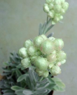 Helichrysum_