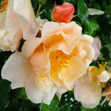 Gold_bush