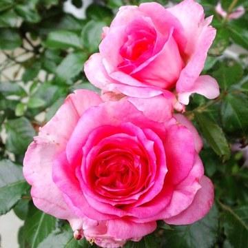 La_rose_de_molinard