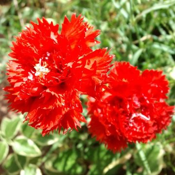 Dianthus_caryophyllus
