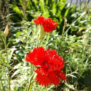 Dianthus_caryophyllus_2
