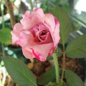 Lilac_beauty