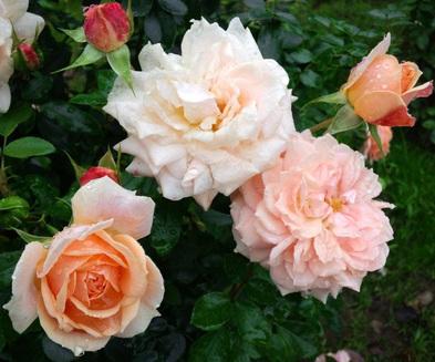 Garden_of_roses