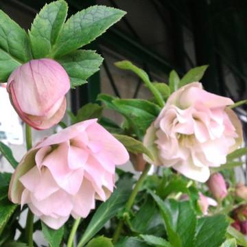 W_pink_2