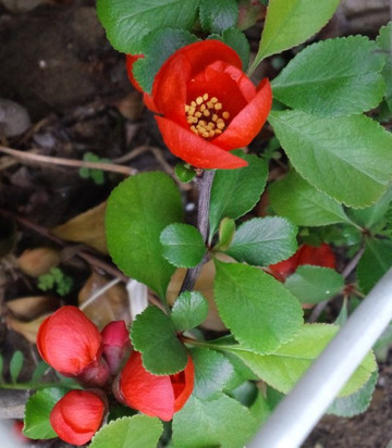 Japanese_quince