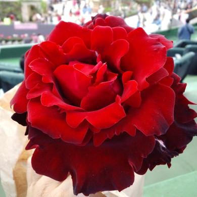 La_rose_de_versailles