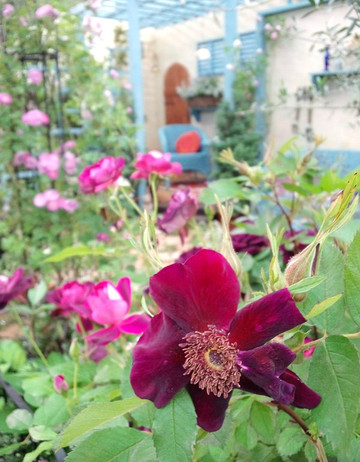Basyes_purple_rose