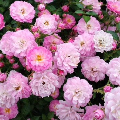 Rose_dange